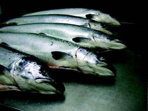 saumon5