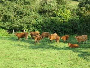 Des vaches, pour un véritable organisme agricole