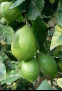 citron-verdello