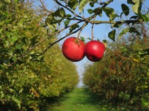 Des pommes, comme elles doivent être