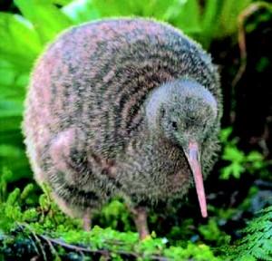 kiwi11