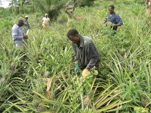 R?colte ananas montagne de Blifou