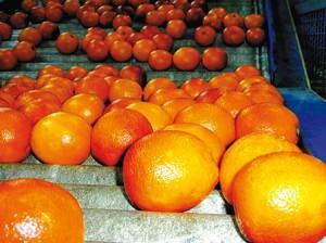 Oranges-sur-rouleaux