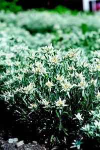 edelweiss6