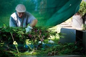 Fresh plant processing.