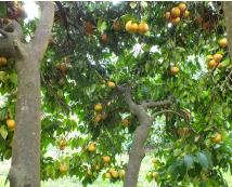 Le pomelo ou grappe-fruit
