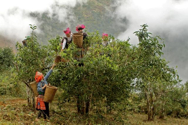 Cueilleuses de l'ethnie Hmong au Nord du Vietnam (théiers sauvages), image Jardins de Gaïa