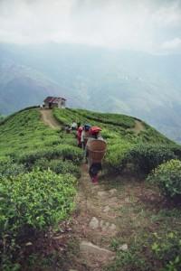 Récolte au Darjeeling, image Jardins de Gaïa