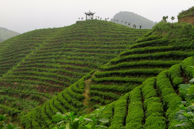 Jardin de thé dans le Hebei, image Jardins de Gaïa