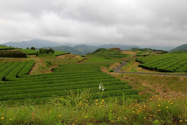Culture du thé à Kagoshima, image Jardins de Gaïa