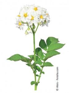 patate-fleur