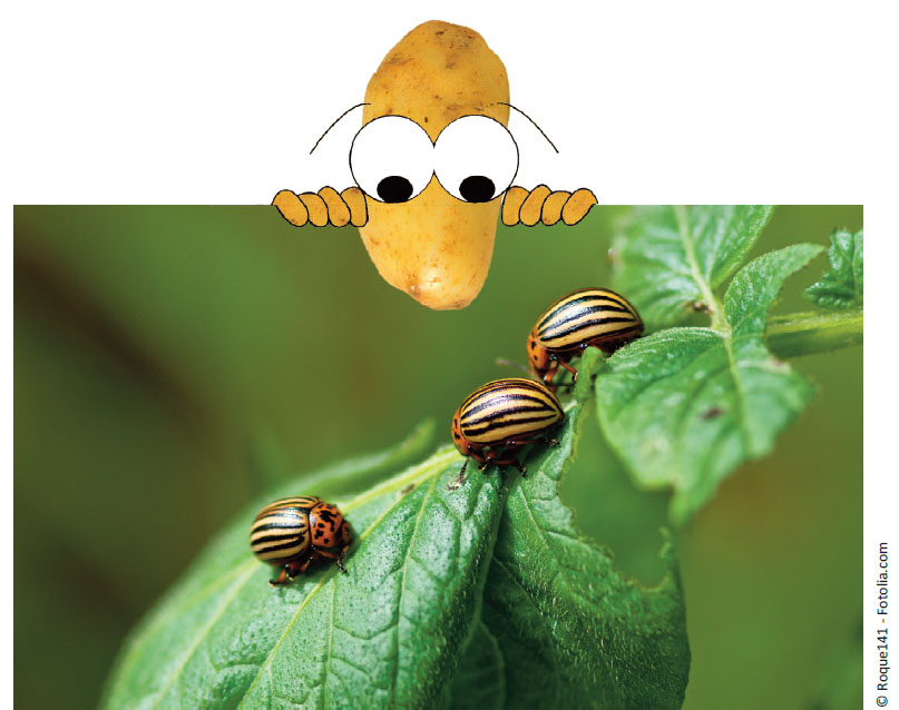 patate-insecte